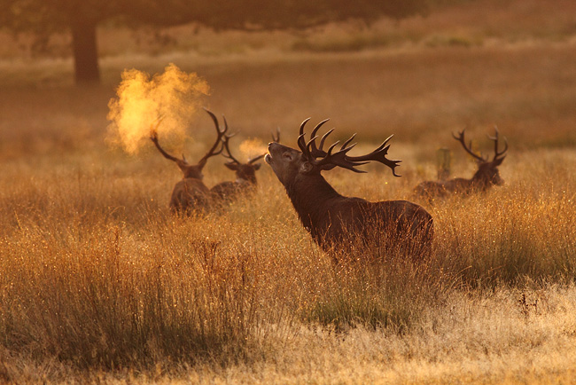 Stag Breath, Richmond Park, Surrey