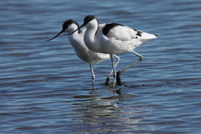 Avocets, Brownsea Island