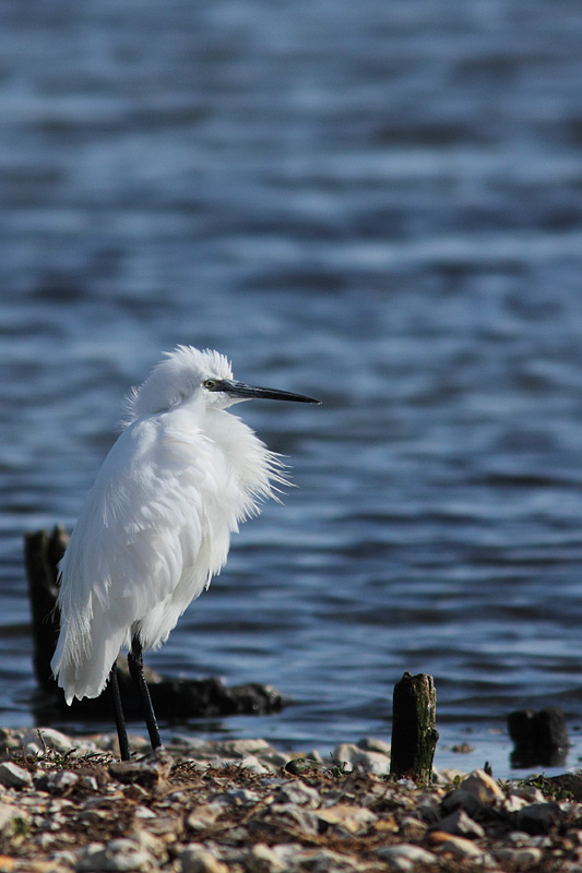 Little Egret, Brownsea Island