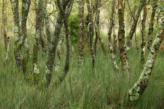 Lichen Covered Trees, RSPB Arne