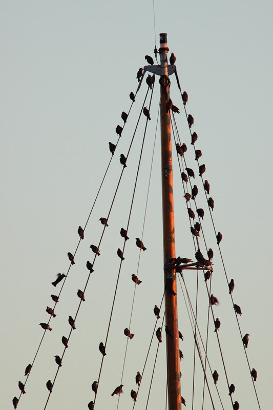 Starlings on the Mast, Wareham