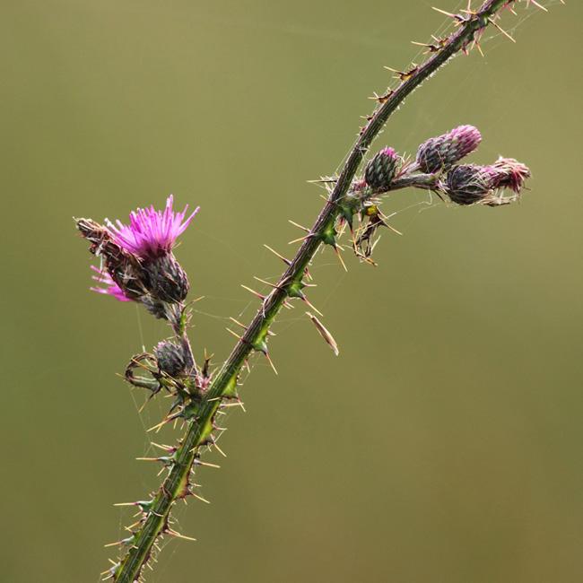 Thorns, RSPB Arne
