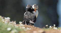 puffin greeting