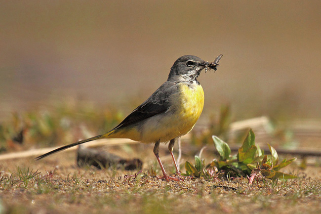Grey Wagtail with Mayfly, Frensham Little Pond, Surrey