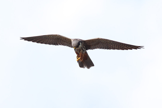 Hobby, Thursley Common, Surrey