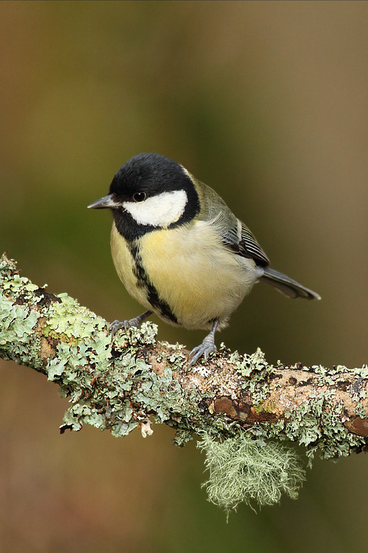 Great Tit, Newland's Corner