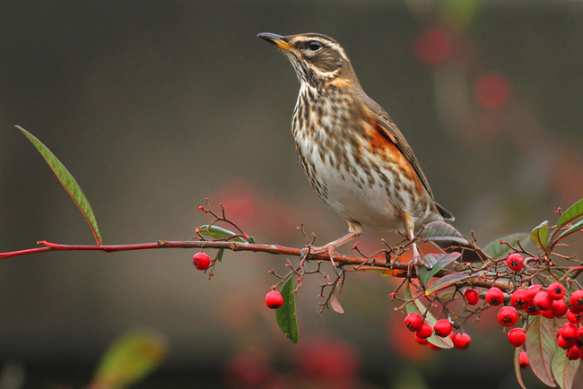 Redwing, North Camp Station
