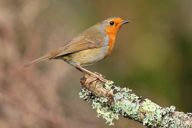 Robin, Newland's Corner