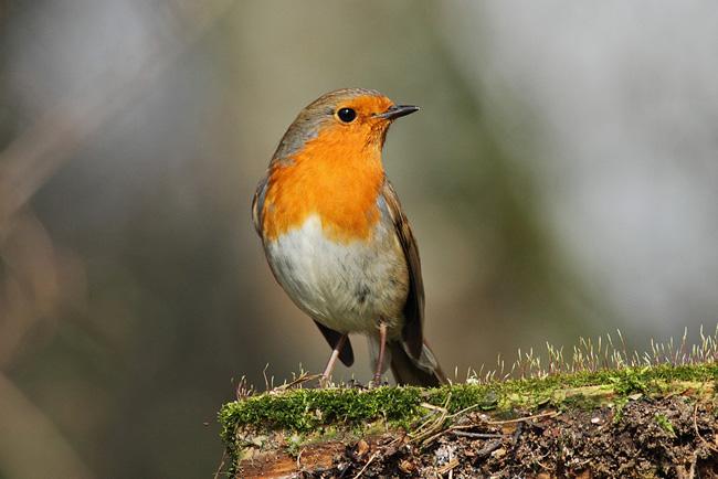 Robin, Newlands Corner