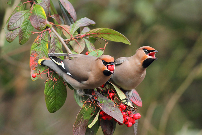 Two Waxwing, North Camp Station