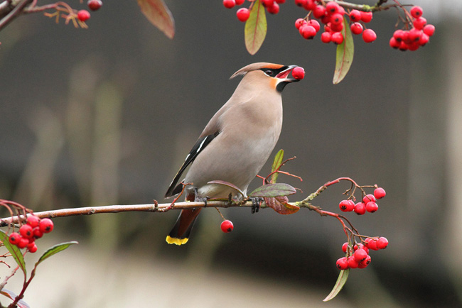 Waxwing, North Camp Station