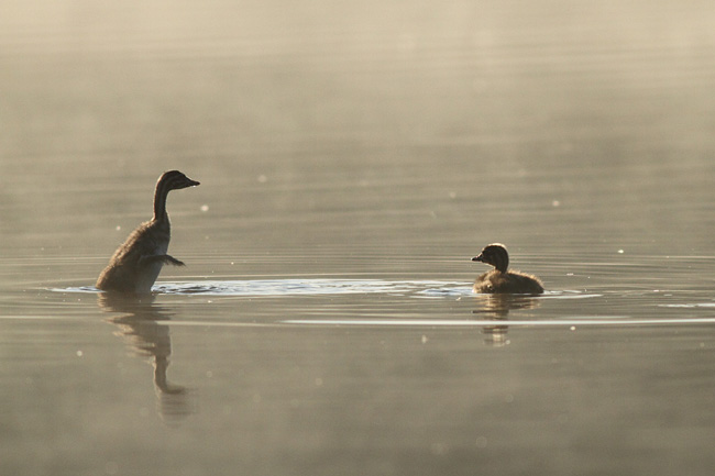 Great Crested Grebe chick flapping wings