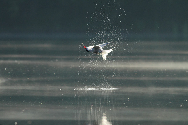 Upside down Common Tern