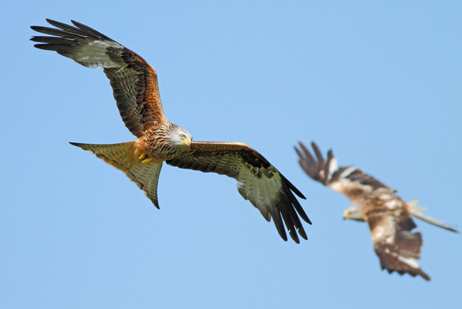 Red Kites Circling, Gigrin Farm