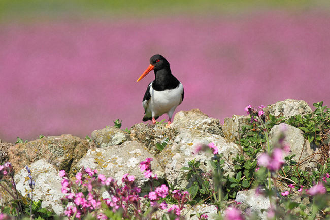 Oystercatcher on Skomer Island