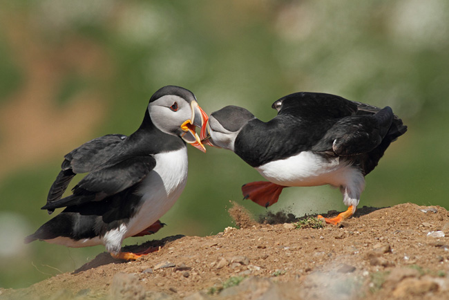 Puffins Fighting, Skomer Island