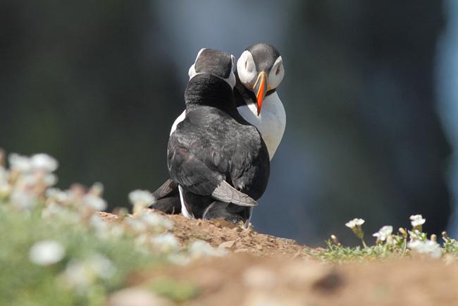 Puffins Greeting, Skomer Island