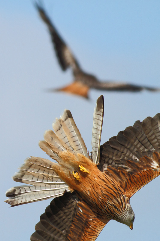 Red Kite Diving, Gigrin Farm