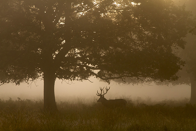 Red Deer Stag, Two Trees