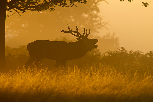 Stag in the Grass