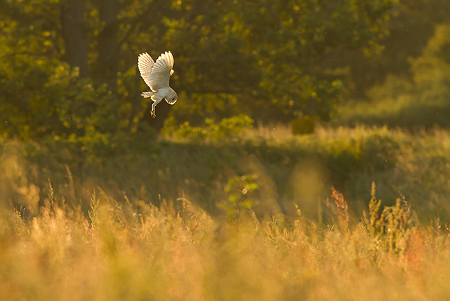 Barn Owl, Papercourt Meadows