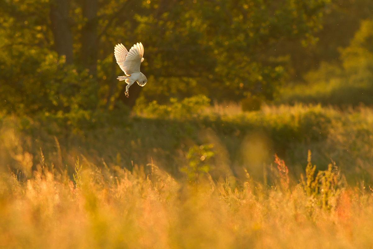 Barn Owl, Papercourt Meadows. Shortlisted, BWPA 2015.
