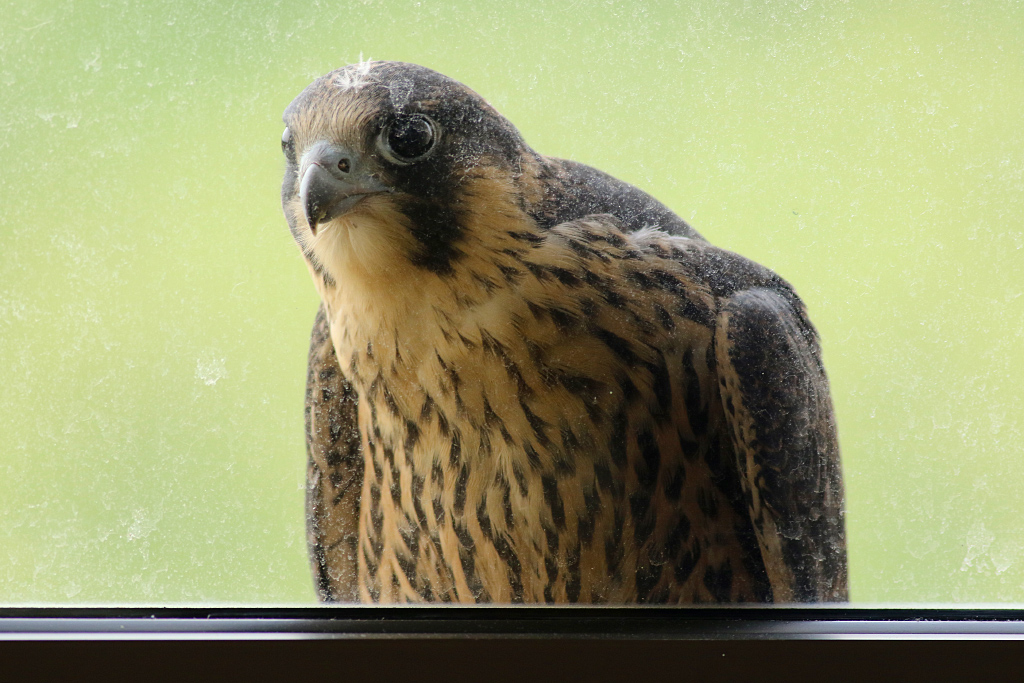 Peregrine at the Window