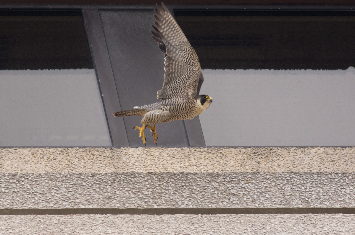 Adult Peregrine on the 9th Floor