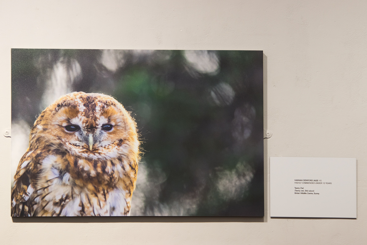 Tawny Owl, Highly Commended, Under 12 Category